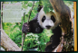 Preview: Unveiling Giant Pandas